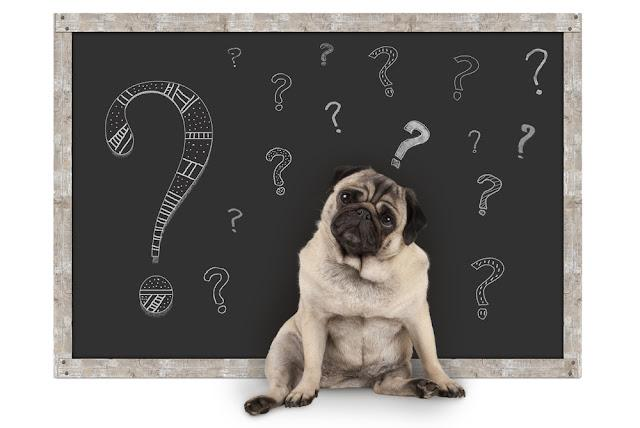 cute smart pug puppy dog sitting in front of  blackboard with chalk question marks, isolated on white background