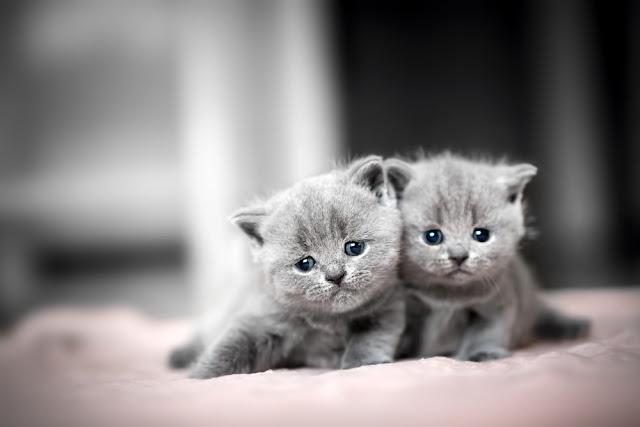 Two cute kittens cuddle each other. British Shorthair cats.