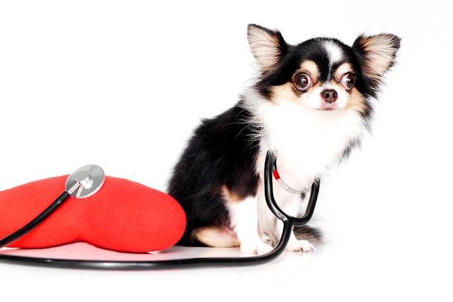 Black and white Chihuahua dogs, Have big eyes with stethoscopes and Heart shape pillow isolated on white background