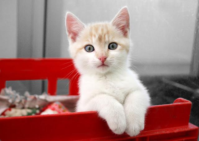 Cute cream and white kitten sitting watching from his pen