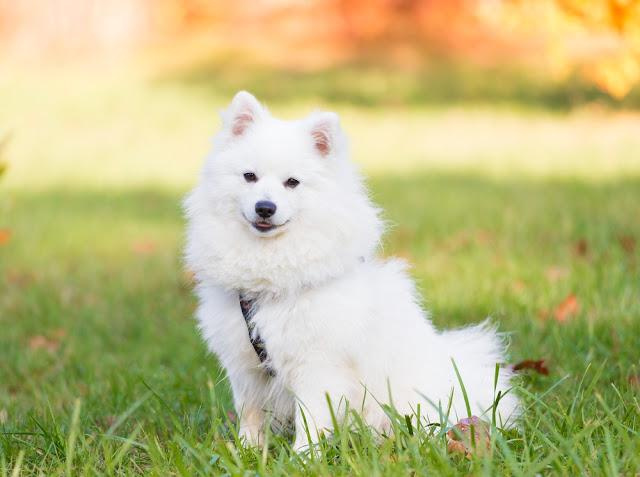 Wonderful one white Japanese Spitz dog in nature background. Animals life. Family fun puppy pet. Close up.
