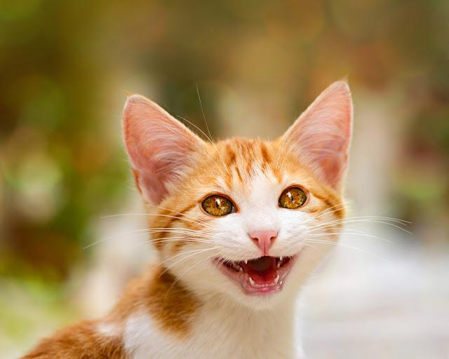 Smiling kitten with wonderful eyes miaows with mouth open