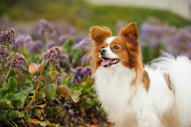 Papillon dog outdoor portrait