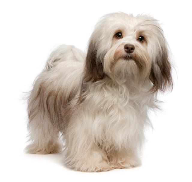 Portrait of a beautiful standing chocolate havanese dog isolated on a white background