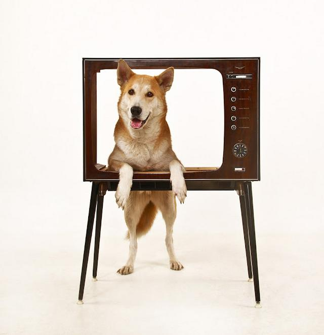 yellow dog in the TV set