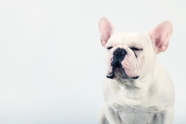 Adorable white french bulldog sitting down and close his eyes, isolated on white background.