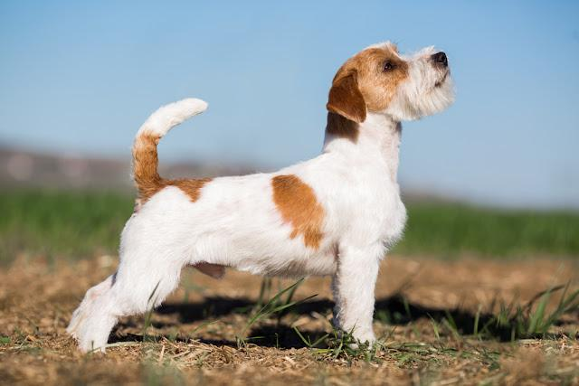 Jack Russell Terrier  dog stands sideways - conformation