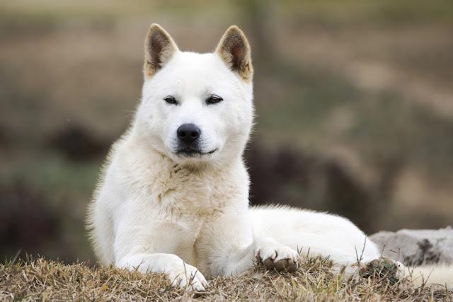 Portrait of a Korean Jindo dog. The Jindo dog has been officially designated Koreas Natural Memorial No. 53. It is brave, intelligent, and fiercely loyal to its master.