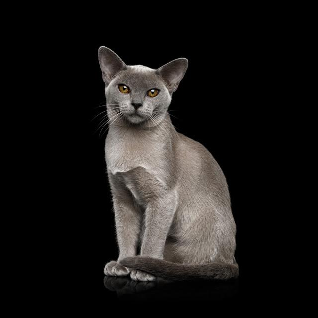 Adorable Blue Burmese Cat with unusual eyes Sitting on isolated on black background, front view
