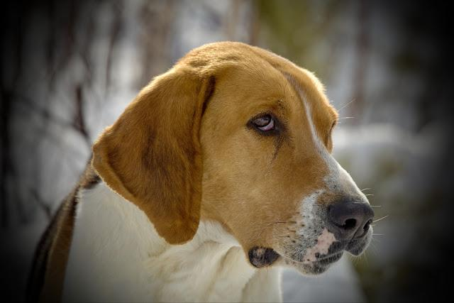 Harrier Beagle in a forest. Harrier Beagle walking in the forest. For hunting a large beast. English breed of dogs