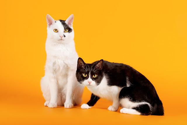 Two Black and white japanese bobtails on orange background