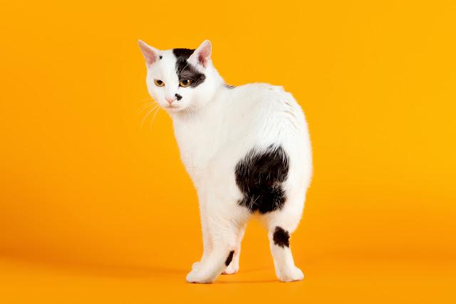 Black and white japanese bobtail on orange background