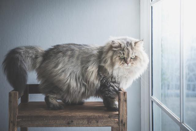 Close up of persian cat standing on wooden shelf under sun light from a window