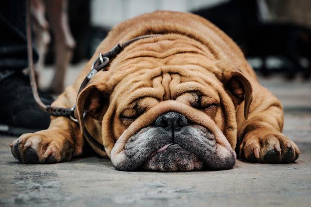 English bulldog sleeping on the floor. Close-up portrait.