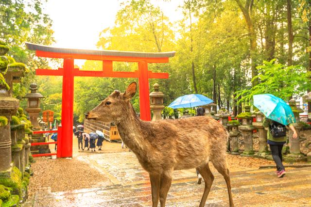 Wild deer in Nara Park at sunset light, Japan. Deer are symbol of Naras greatest tourist attraction. On background, red Torii gate of Kasuga Taisha Shine one of the most popular temples in Nara City.