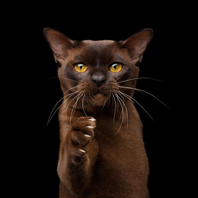 Portrait of Brown Burmese Cat Raising paw with sharp claws for handshake isolated on black background, front view