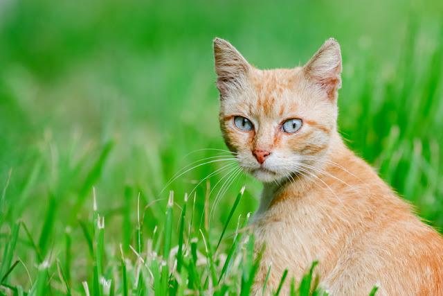 Thoughtful red orange cat sitting in the grass looking and listens green pet background animal wallpaper