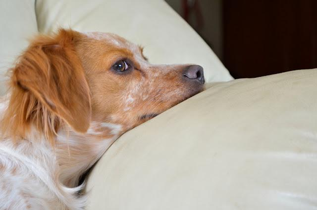 Portrait of young Brittany spaniel dog on sofa