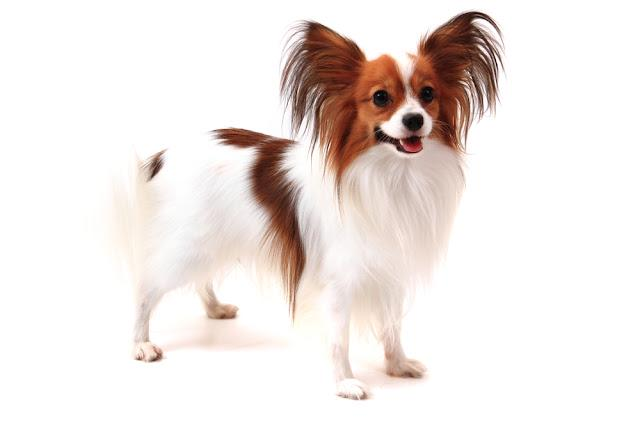 papillon dog isolated on the white background