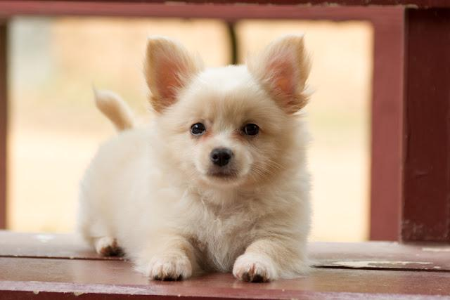 Pomeranian mixed breed with Chihuahua.