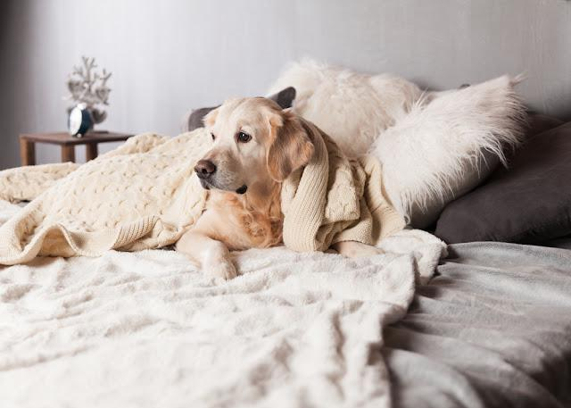 Adorable Golden Retriever Dog Cover Light Pastel Gray White Scandinavian Textile Decorative Coat Pillows for Modern Bed in House or Hotel. Pets care friendly concept.
