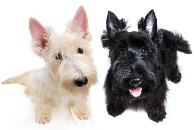 Sweet little black and white Scottish Terrier puppies