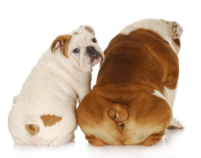 two english bulldogs with backsides to viewer with one looking over shoulder