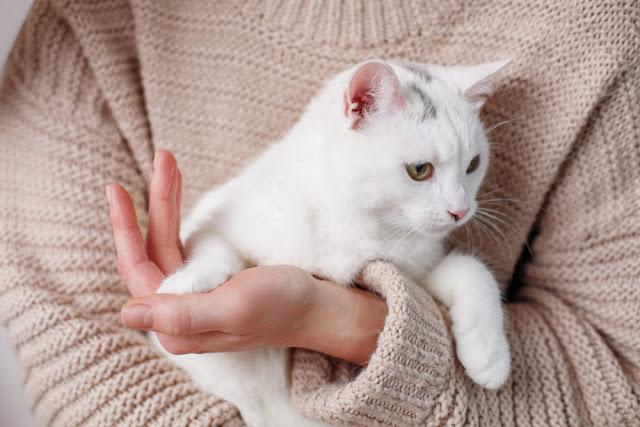 Close up of woman hands holding cute white cat. Focus on animal