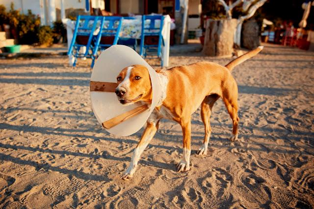 Injured dog with e-colllar walking on the sandy street in a sunny afternoon