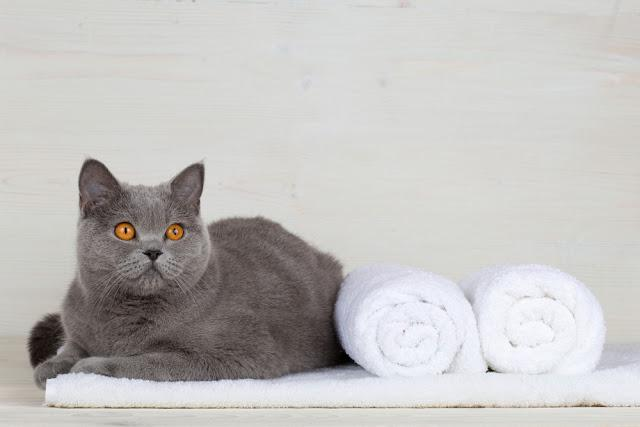 A cat on a towel. Thoroughbred cat. Pet on a wooden background.
