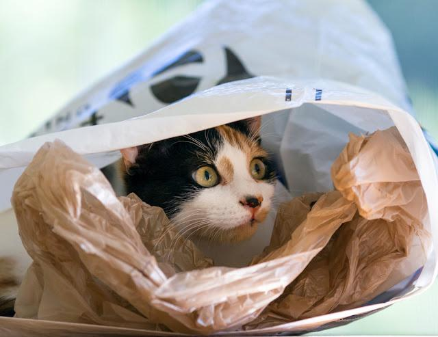 calico cat in a plastic shopping bag