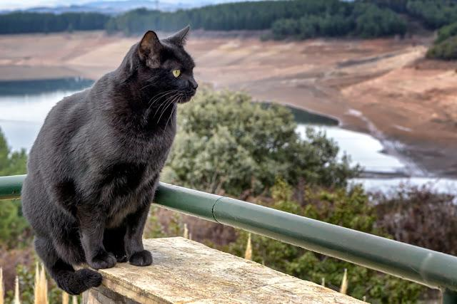 Adult Bombay cat with natural background