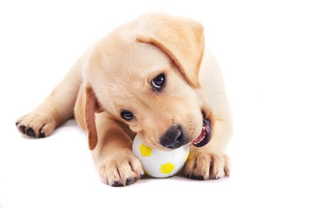 2 month old labrador retriever puppy chewing on a ball