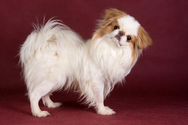 Japanese Chin in studio