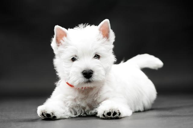 West HighlWest Highland White Terrier on black background