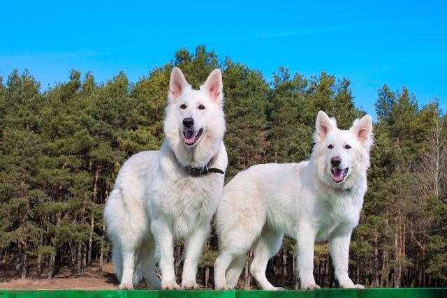 Two white Swiss Shepherds standing on green platform