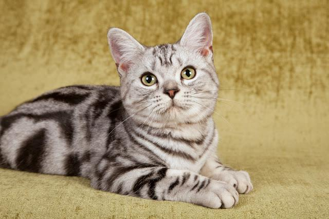 American Short Hair kitten on green background