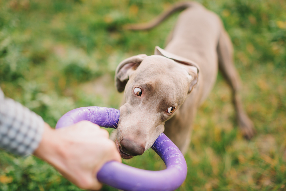 Weimaraner Playing with a Toy with Owner