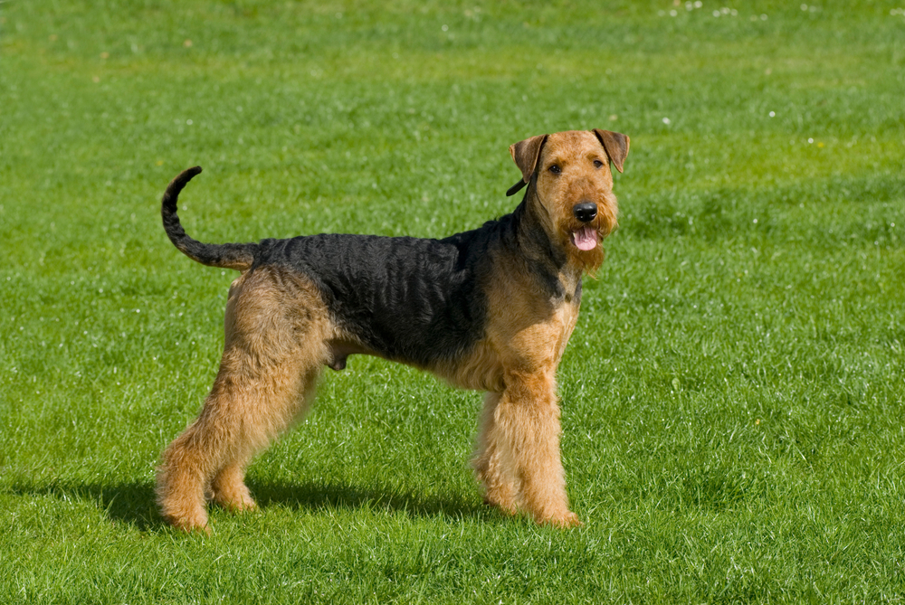 Airedale terrier in a meadow