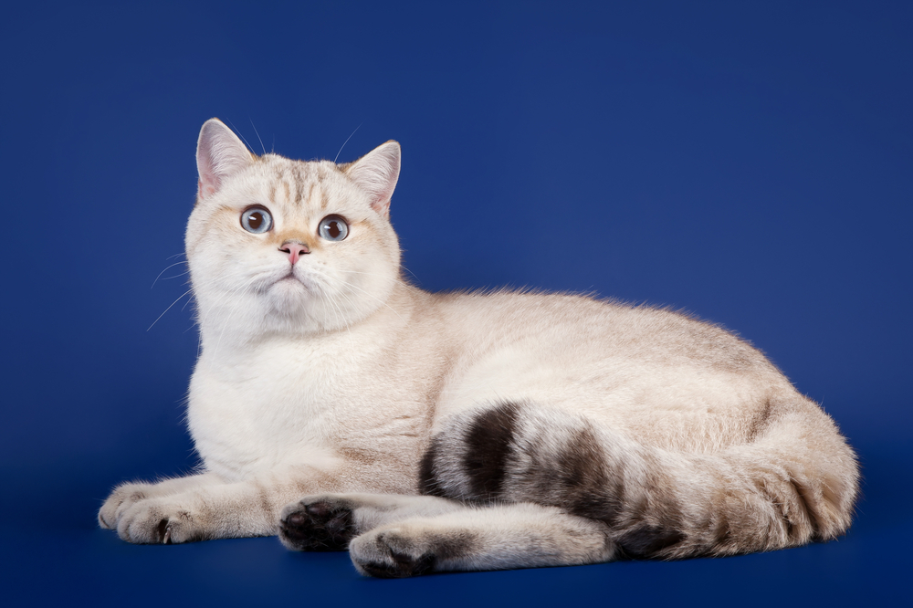 Young scotish straight kitten on dark blue background