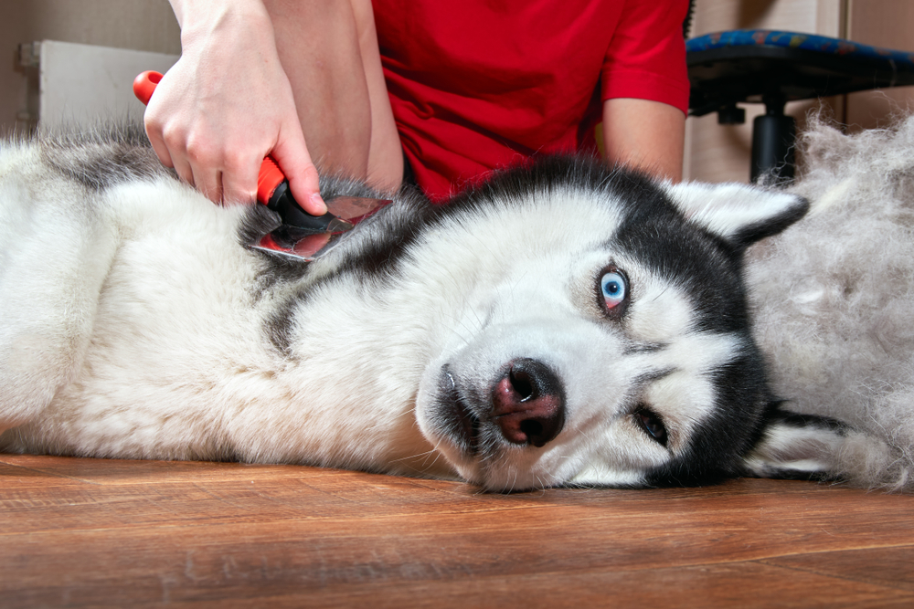 Concept annual molt, coat shedding, moulting pets. Grooming undercoat dog. Boy combs wool from Siberian husky. Husky dog lies on floor and looks crazy with frightened eyes. Copy space.