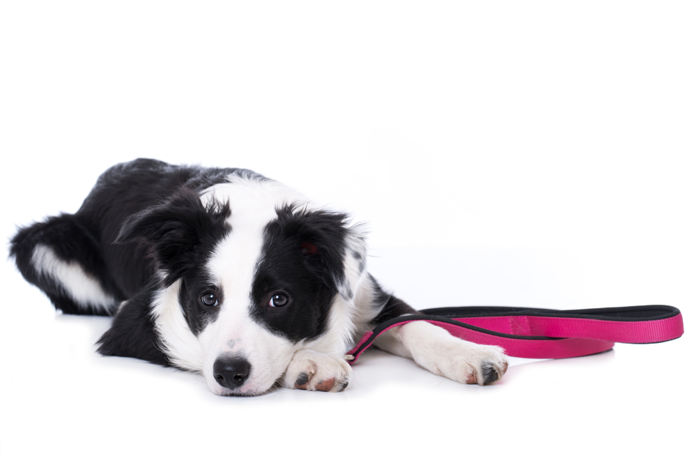 Young border collie dog with a leash isolated on white background
