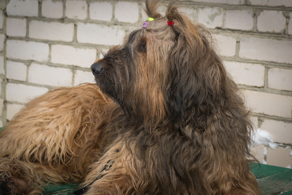 Portrait of a French Shepherd - Briard. Close-up. Dogs.
