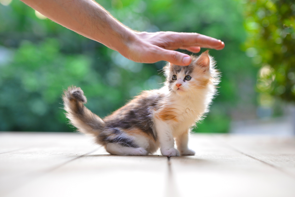 Close up of a cute silver patched blue eyes kitten touching by a man, sitting on a wooden floor in garden. Adorable cat with blurry green background