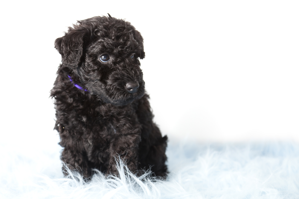 Kerry Blue Terrier Puppy on white background