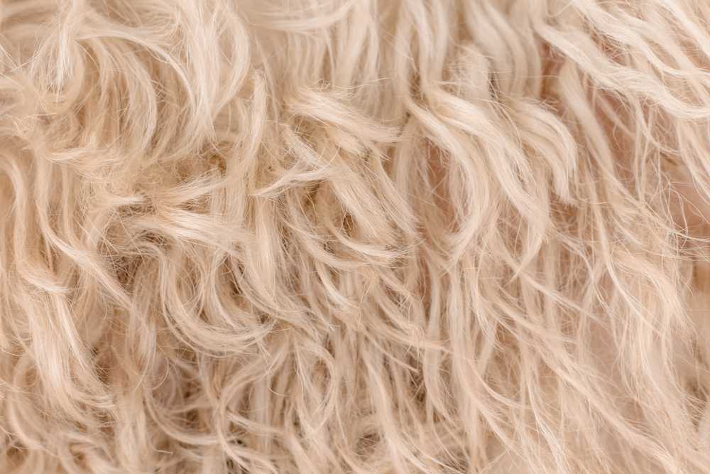 white dog curly hair, texture