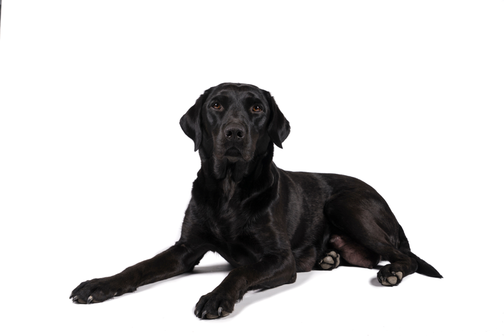 Portrait of a female black labrador retriever dog isolated on a white background