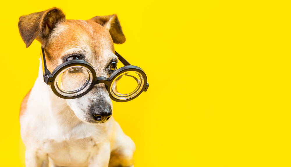 curious serious cute dog jack russell terrier in glasses on yellow background. horizontal banner. back to school