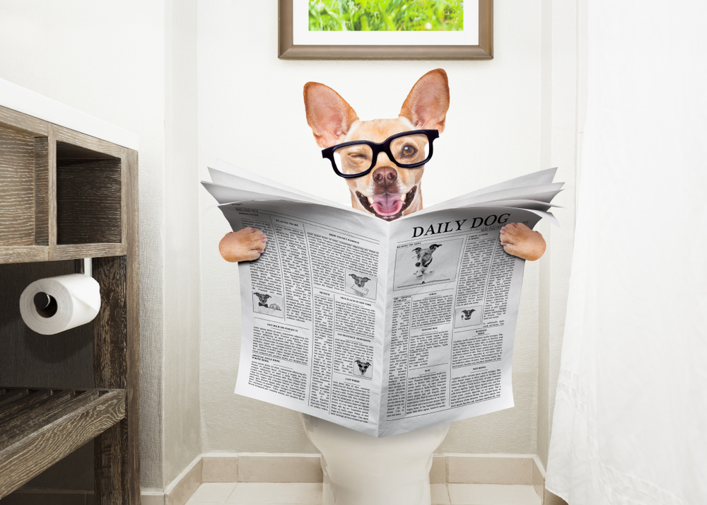 chihuahua dog  sitting on a toilet seat with digestion problems or constipation reading the gossip magazine or newspaper