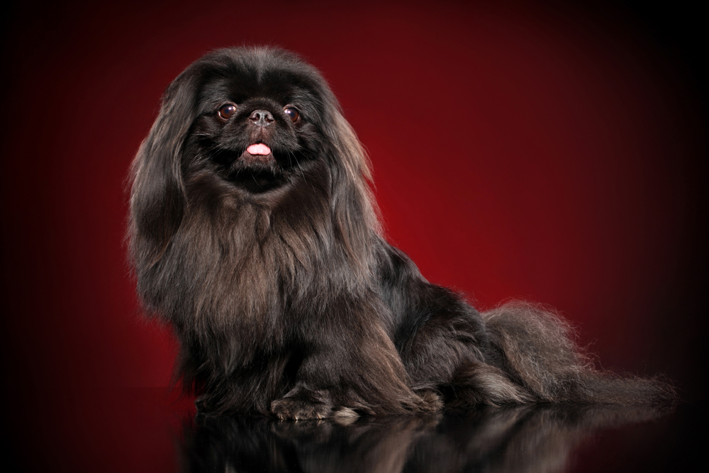 Chinese Pekingese dog posing on dark-red background. Animal themes